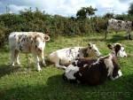 les-vaches-normandes-04